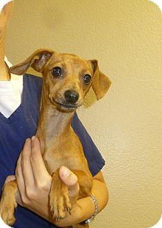 Dachshund Mix Puppy for adoption in Oviedo, Florida - Almond