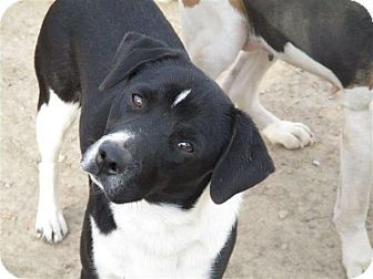Border Collie Mix Dog for adoption in Liberty Center, Ohio - Poptart