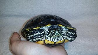 Turtle - Other for adoption in Pefferlaw, Ontario - Parker