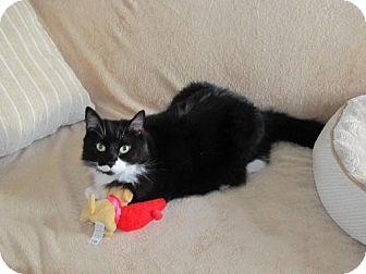 Domestic Mediumhair Cat for adoption in Satellite Beach, Florida - Poker & Domino