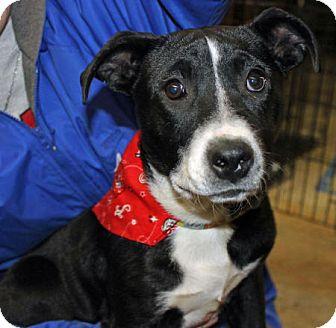 Border Collie/Labrador Retriever Mix Puppy for adoption in Marietta, Georgia - Xena