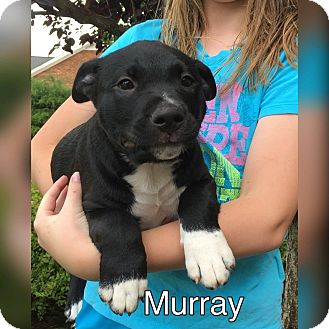 Pit Bull Terrier Mix Puppy for adoption in Pottstown, Pennsylvania - Murray