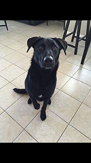 Labrador Retriever/German Shepherd Dog Mix Dog for adoption in Nuevo, California - Zero