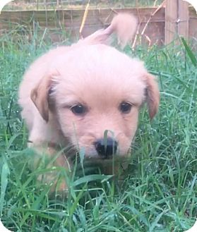 Goldendoodle/Labradoodle Mix Puppy for adoption in Sylacauga, Alabama - Amelia
