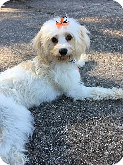 Bichon Frise Dog for adoption in Franklinville, New Jersey - Dottie