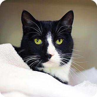 Domestic Shorthair Cat for adoption in Denver, Colorado - James