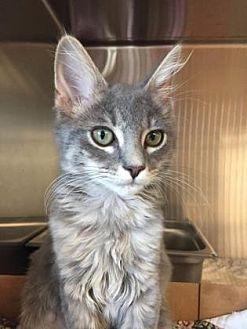 Domestic Mediumhair/Domestic Shorthair Mix Cat for adoption in Pompano Beach, Florida - 9135