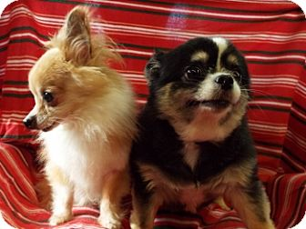Chihuahua Mix Dog for adoption in Grants Pass, Oregon - Phivel