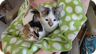 American Shorthair Kitten for adoption in Avon, New York - Funny Face