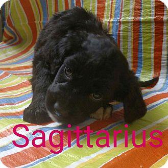 Labradoodle/Bernese Mountain Dog Mix Puppy for adoption in Garden City, Michigan - Sagittarius