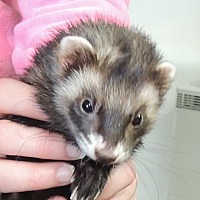 Adopt A Pet :: Daenerys - Carlton, OR
