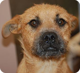 Wirehaired Fox Terrier Mix Dog for adoption in Antioch, California - Fred
