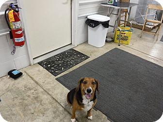 Beagle Mix Dog for adoption in Sandusky, Ohio - ROSCOE