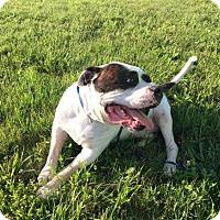 Adopt A Pet :: Bonz 35310416 - Westampton, NJ