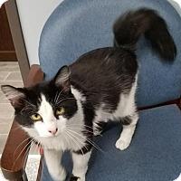 Domestic Longhair Cat for adoption in Carroll, Iowa - Newton