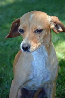 Chihuahua/Dachshund Mix Dog for adoption in Mountain Center, California - Rosie