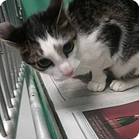 Adopt A Pet :: Calico kitten - Elizabeth, NJ