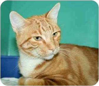 Domestic Shorthair Cat for adoption in Phoenix, Oregon - Romeo