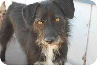 Terrier (Unknown Type, Small) Mix Dog for adoption in Thatcher, Arizona - Spencer