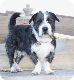 Corgi/Terrier (Unknown Type, Medium) Mix Dog for adoption in Los Angeles, California - Simon