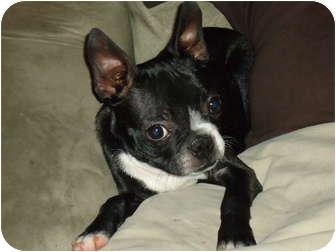 Boston Terrier Mix Dog for adoption in Turlock, California - 0812-1117