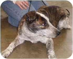 Australian Cattle Dog Mix Dog for adoption in Charleston, Illinois - Cattle Dog [Mix]