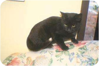 Domestic Shorthair Kitten for adoption in Georgetown, South Carolina - GiGi