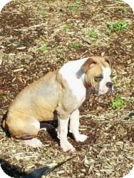 Boxer/English Bulldog Mix Dog for adoption in Gaffney, South Carolina - Darla
