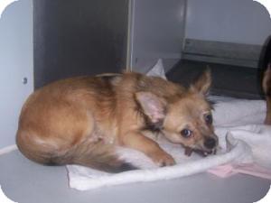 Chihuahua Mix Dog for adoption in Olathe, Kansas - Hugo