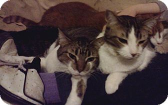 Domestic Shorthair Cat for adoption in Lawrenceville, Georgia - Sweet Sisters: Pam & Peggy