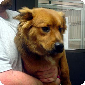 Australian Shepherd/Border Collie Mix Dog for adoption in Manassas, Virginia - Lucy