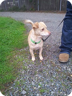 Chihuahua Mix Dog for adoption in Yelm, Washington - Dr. Suess