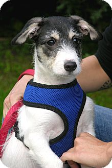 Terrier (Unknown Type, Small) Mix Puppy for adoption in Norwalk, Connecticut - Luna