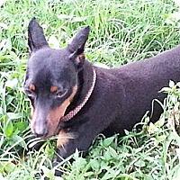 Adopt A Pet :: Mia - Nashville, TN