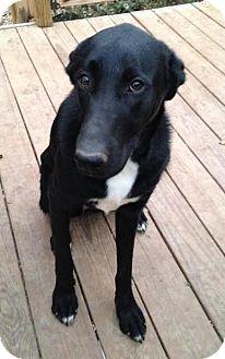 Labrador Retriever/Great Dane Mix Dog for adoption in waterbury, Connecticut - Padme