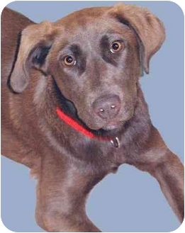 Labrador Retriever Mix Puppy for adoption in Grass Valley, California - Jollene