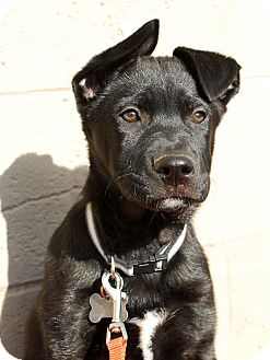 Labrador Retriever/Shepherd (Unknown Type) Mix Puppy for adoption in Detroit, Michigan - Digger-Adopted!