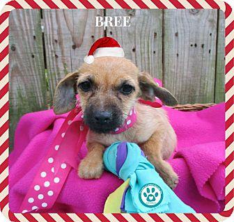 Dachshund Mix Puppy for adoption in Kimberton, Pennsylvania - Bree