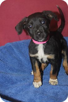 Doberman Pinscher Mix Puppy for adoption in Waldorf, Maryland - Celeste