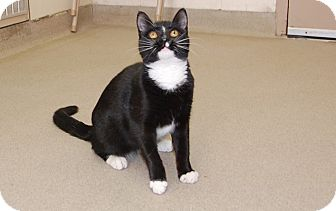 Domestic Shorthair Kitten for adoption in Bucyrus, Ohio - Orca Kitty