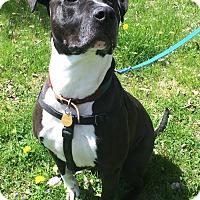 Adopt A Pet :: Goliath - Hilliard, OH