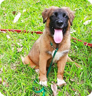 Border Collie/Chow Chow Mix Puppy for adoption in Castro Valley, California - Gill