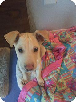 Labrador Retriever Mix Puppy for adoption in Mesa, Arizona - TOMMY 8 WEEK LAB @PETCO