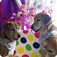 Adopt A Pet :: Maggie and Molly Bonded Pair - Ft. Collins, CO