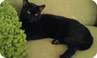 Domestic Shorthair Cat for adoption in Palm Springs, California - Travis