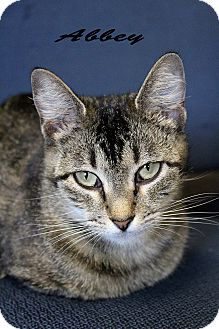 Domestic Shorthair Cat for adoption in Texarkana, Arkansas - Abbey