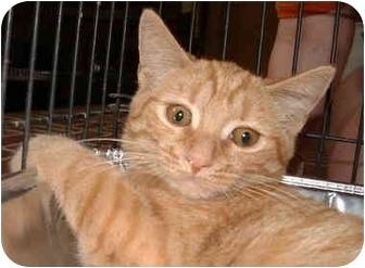 Domestic Shorthair Kitten for adoption in Honesdale, Pennsylvania - Kuki