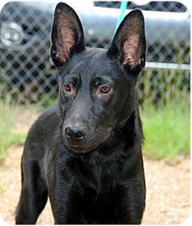 German Shepherd Dog Mix Puppy for adoption in Palmyra, Pennsylvania - Hank