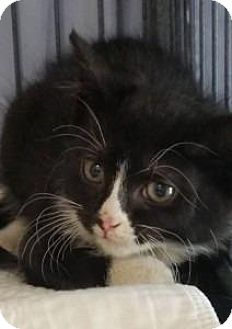Maine Coon Cat for adoption in Freeport, New York - Domino