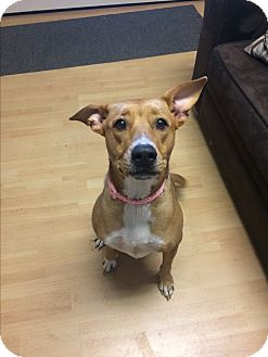 Labrador Retriever/Basenji Mix Dog for adoption in East Hartford, Connecticut - Lacey in CT